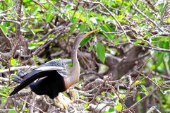 Anhinga em pantanais de Florida Foto de Stock Royalty Free
