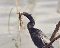 Anhinga em pantanais de Florida fotografia de stock royalty free
