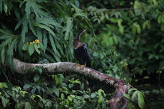 Anhinga en una rama sobre el canal Fotografía de archivo
