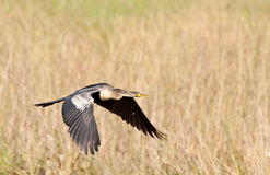 Anhinga in the Everglades Stock Images