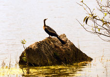 Anhinga in the Everglades Royalty Free Stock Photo