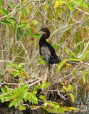 Anhinga in the Everglades Stock Photos