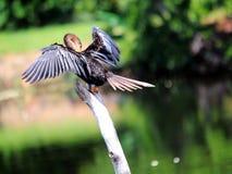 Anhinga fêmea que enfeita-se nos pantanais em Florida Imagens de Stock