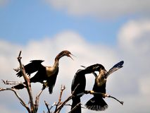 Anhinga family in tree over wetlands water. Female Anhinga looking at the male feeding a young in wetlands in Delray Beach, South Florida.  The Anhinga is also Royalty Free Stock Photos