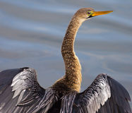 Anhinga Royalty Free Stock Photo