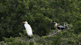 Anhinga female and Great Egret in a treetop Stock Photography