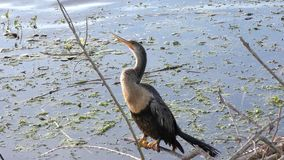 Anhinga female perching stock video footage