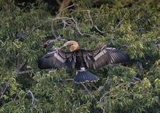 Anhinga female in a treetop Stock Photos