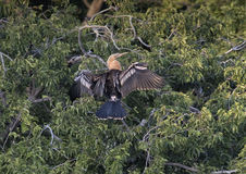 Anhinga female in a treetop Stock Photography