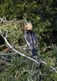 Anhinga female in a treetop Stock Image