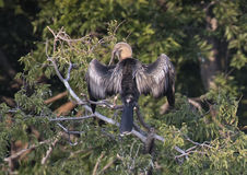 Anhinga female in a treetop Royalty Free Stock Photography