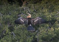 Anhinga female in a treetop Royalty Free Stock Photos