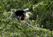 Anhinga female in a treetop Royalty Free Stock Photo