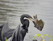 Anhinga with a Fish. Anhinga with a  Large Fish in Florida wetlands Stock Image
