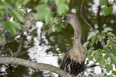 Anhinga With Fish In Its Mouth Stock Photo