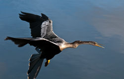 Anhinga in Flight Stock Image