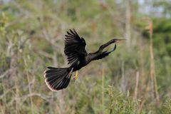 Anhinga In Flight Stock Photography
