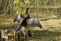 Anhinga in a florida swamp. An anhinga sits with its wings open an a small stump in a florida swamp royalty free stock images