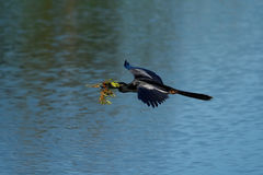 Anhinga flying to the nest Stock Photo