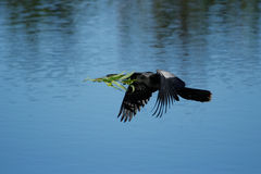 Anhinga flying to the nest Stock Image
