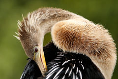 Anhinga grooming feathers Royalty Free Stock Images