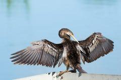 Anhinga het uitrekken zich vleugels Wout Stock Foto