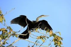 Anhinga het Uitspreiden Vleugels Royalty-vrije Stock Foto's