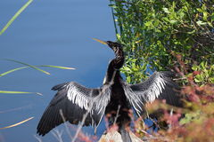 Anhinga. At Huntington Beach State Park, South Carolina Stock Photos