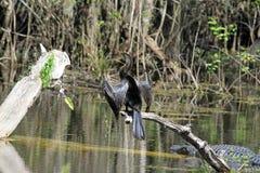 Anhinga im Sumpf stockfoto