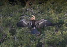Anhinga kobieta w treetop Zdjęcia Royalty Free