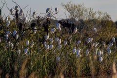 Anhinga-Kuhreiher Bubulcus IBIS Garca-boieira/Carraceiro lizenzfreie stockfotos