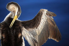 Anhinga, lac swan noir à Perth, Australie Images stock