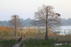 Anhinga with Large Brim at Lakes Edge As Sun Rises Royalty Free Stock Photos