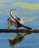 Anhinga On A Log Stock Photography