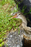 Anhinga looking for prey Stock Photo
