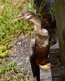 Anhinga looking for prey Royalty Free Stock Photography