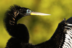 Anhinga male with breeding colors Stock Images