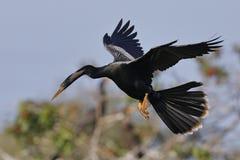 Anhinga masculin en vol au-dessus d'un étang boisé photo libre de droits