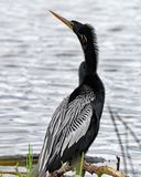 Anhinga masculin montrant les plumes argentées images stock