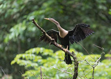 Anhinga med öppna vingar, Anhingaanhinga, Tortuguero nationalpark, Costa Rica Fotografering för Bildbyråer