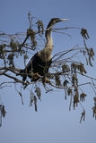 Anhinga nestled in branches in the Everglades of Florida. Stock Images