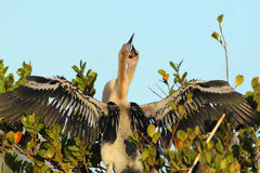 Anhinga Nestlings - Everglades National Park Stock Image