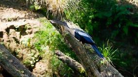 Anhinga no rio de Sarapiqui, Costa Rica Imagens de Stock Royalty Free