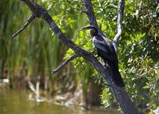 Anhinga (ormfågel, vattenkalkon, darter) som sunning för att torka, av når att ha dykt in i vattnet Arkivfoton