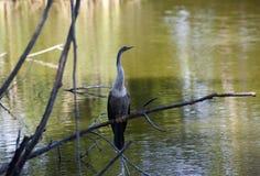 Anhinga (ormfågel, vattenkalkon, darter) som sunning för att torka, av når att ha dykt in i vattnet Royaltyfri Fotografi