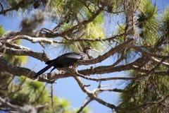 Anhinga (ormfågel, vattenkalkon, darter) som sunning på ett träd Arkivbild