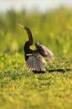 Anhinga osuszki skrzydła Zdjęcia Royalty Free