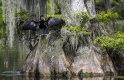 Anhinga osuszki skrzyd?a - Wakulla wiosny zdjęcie stock