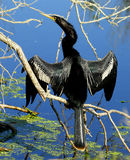 Anhinga. With outstretched wings perched on tree limb Royalty Free Stock Photos