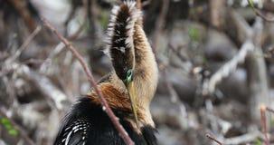 Anhinga - pájaro de la serpiente florida EE.UU. metrajes